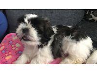 Lovelly Shih tzu puppy girl
