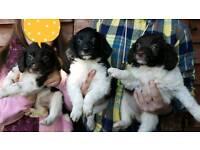 Sprollie pups