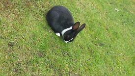 Free Female Dutch Rabbit