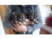 Mini schnauzers pups
