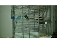 For Sale Pair Budgies/Birds and Cage