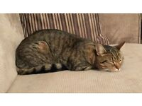 Missing since 12th June - Male tabby cat, chipped and neutered, no collar
