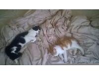 2 male ragdoll cross cats