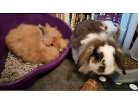 2 bonded young rabbits for sale