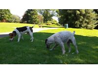 Long legged jack russell terrier puppies for sale.