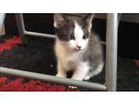 Female black & grey kitten