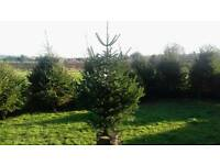 Real Christmas Trees *Fresh Home Grown*