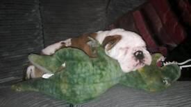 1 pure bred pedigree male English bulldog pup left
