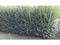 Privet Hedge £1 a meter