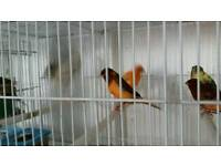 Canary pair and cage £45