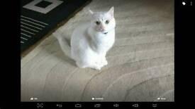 PURE WHITE FEMALE CAT