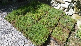 Mixed Sedum trays for Green roofs