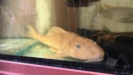 3x large albino plecos more 1ft long It's large size so need big tank