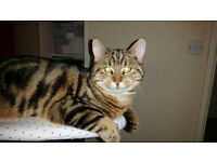 Missing tabby/tiger markings cat named Scarlett 10 months old