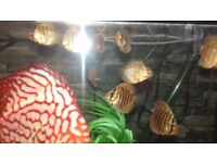 ### DISCUS FOR SALE ###