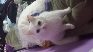 free beautiful white cat with blue eyes !!