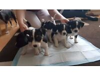 Jack Russell Pupies