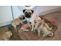 Full pedigree pug puppies
