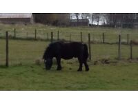 Shetland pony, stallion 8years old, pedigree, member of the pony club. Free to good home