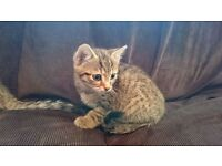 Tabby Kittens looking for a nice home