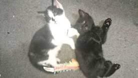 Black and white fluffy kittens males
