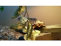 Horsefield tortoise 1 year old with new 2ft wooden vivarium