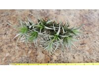 Air Plant with 13 florets (Tillandsia) - Ideal and unusual house plant!