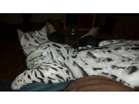 Silver spotted Bengal missing/ lost/ stolen