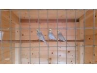 Crest bred rainbow budgies for sale