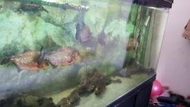6 red belly piranhas and 5ft tank and accessories