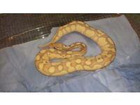 Royal python..corol glow lesser