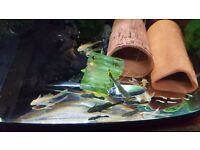 Tropical fish bristlenose