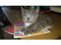 British Shorthair (BSH) kitten *Ready now**last of the litter*