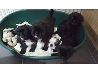 PUG X SHIH TZU PUGZU PUPPIES FOR SALE