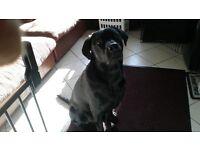 KC Registered Male Labrador