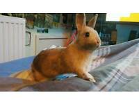 Very friendly dwarf rabbit with full indoor set up *CAN deliver*