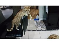 Ginger Cat Looking for Loving Home