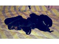 rottweiler cross bullmastiff puppies