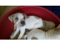 A loving blue and white American bulldog puppy