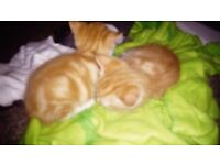 Adorable kittnes, ginger and calico, litter trained, insured, microchipped, wormed and deflead