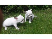 Chihuahua Dog Pups