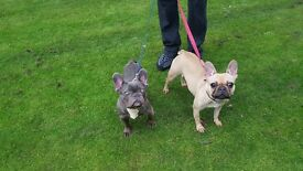 ##### FRENCH BULLDOG PUPPIES FOR SALE ####