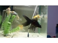 Large size goldfish for sale