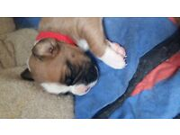 Stunning Full pedigree, kc registered chunky boxer puppies