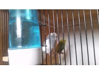 Pair of beautiful budgies for sale with cage