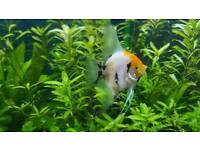 """Koi and Marble Angel fish """" 5 cm """" only £2 each OVER 20 £1"""