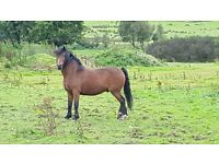 3 Mare Horses Available In Tyrone Area. Good Conditon