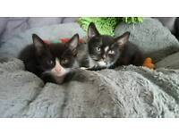 Two male black and white kittens
