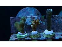 SPS Coral 3 Pack