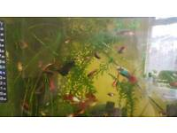 fish - platty, molly, fighter and shrimp